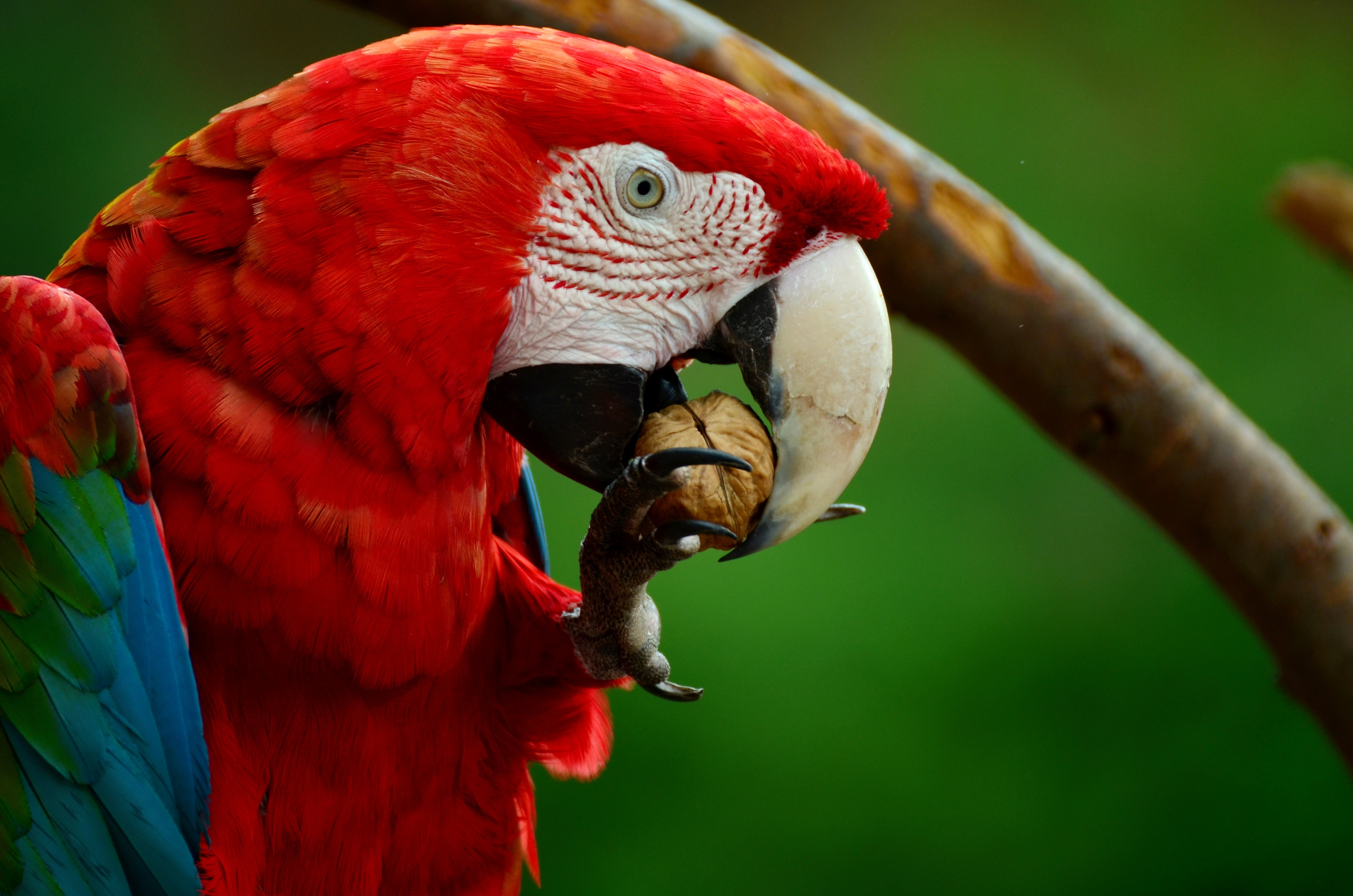 Gnation Scarlet Macaw Put On The Endangered List World Today