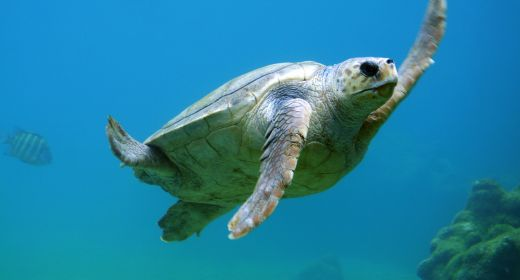 Sea turtles on the road to full recovery thanks to Endangered Species Act