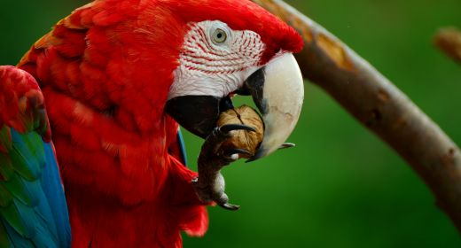Scarlet Macaw put on the endangered list