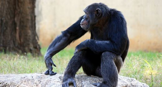 Recent study reveals that chimps' cultural diversity threatened by humans
